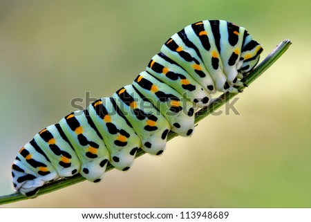 a caterpillar  in a green tree of wild fennel - stock photo