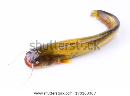 A catfish isolated on a white background  - stock photo