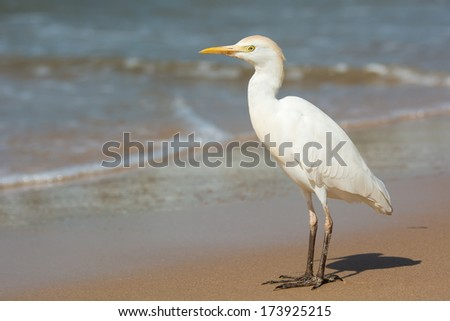A Cattle Egret (Bulbucus ibis) standing on the beach - stock photo