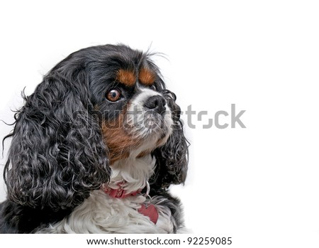 A Cavalier King Charles dog on a white background looking to the right