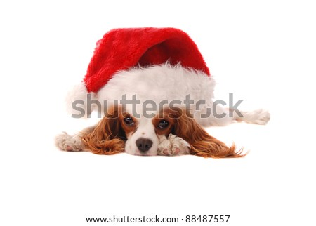 A Cavalier King Charles Spaniel puppy in a Santa Hat, Christmas theme. - stock photo