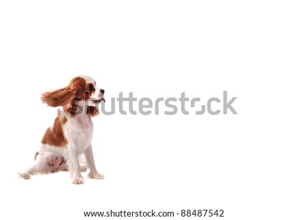 A Cavalier King Charles Spaniel puppy sticking out it's tongue. - stock photo