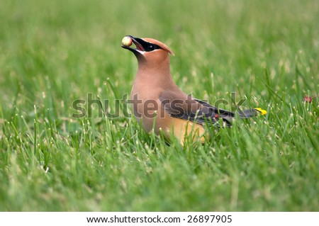 A cedar waxwing holds a service berry in its beak before eating it while foraging for food in the grass - stock photo