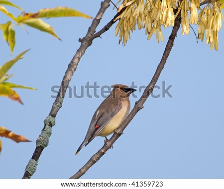 A Cedar Waxwing perched in a tree with a blue sky background. - stock photo