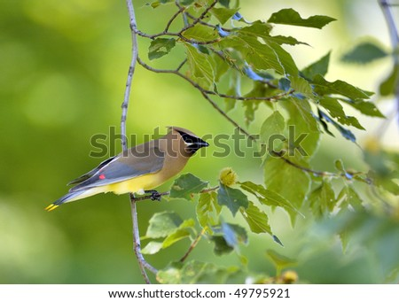 A cedar waxwing perched on a tree branch. - stock photo