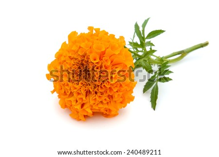 A celebrating marigold flower in Autumn - stock photo