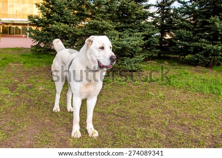 A Central Asian Ovcharka stands on the grass in the park.