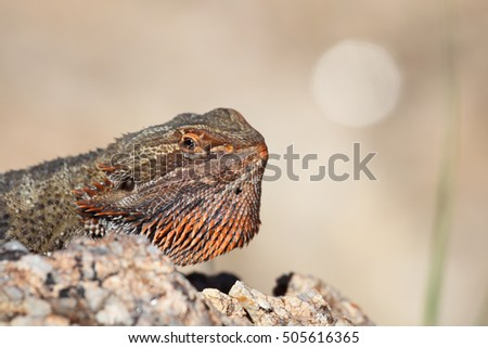 A Central Bearded Dragon sitting on a rock in Australia's desert outback.