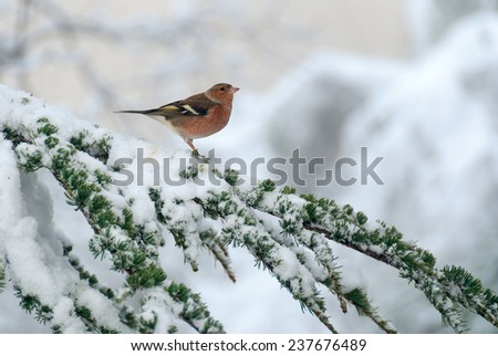 A chaffinch on a cedar branch in the snowy forest. - stock photo
