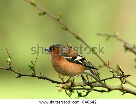 A chaffinch sitting on the branch of a hawthorn tree in springtime.