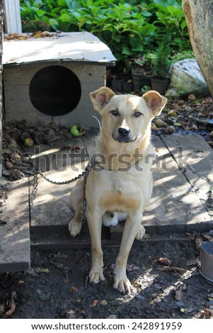 A chained dog - stock photo