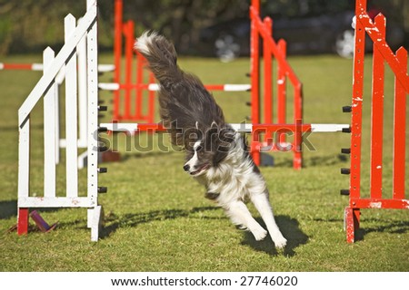 A champion Border Collie completes the jumping course - stock photo
