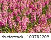 A chaotic field of bright pink hyacinths - stock photo