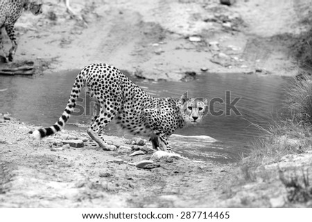 A chdetah stops for a drink in this black and white image. South Africa - stock photo