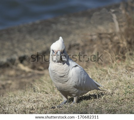 A cheeky blue eyed  white Australian corella is  standing on the dry grass in the park  eating the grassy tips of weeds  on a sunny afternoon in mid summer. - stock photo
