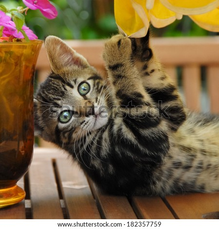 A cheeky brown tabby kitten playing on a garden table, European Shorthair, Germany - stock photo