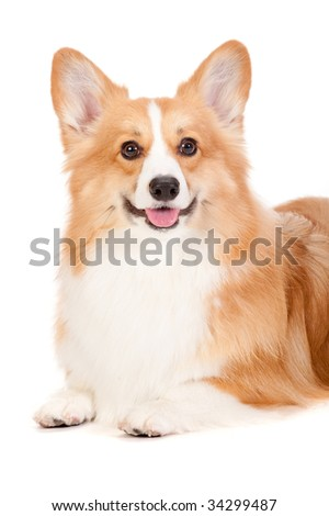 A cheerful brown and white Corgi lying down against a white background