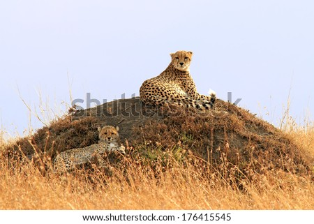 A cheetah (Acinonyx jubatus) and cheetah cub on the Masai Mara National Reserve safari in southwestern Kenya. - stock photo