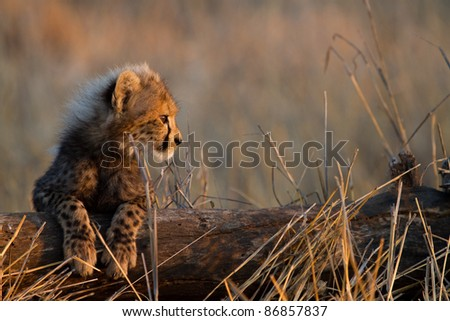 A cheetah cub resting its legs on a fallen tree stump - stock photo