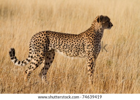A cheetah female in golden light - stock photo