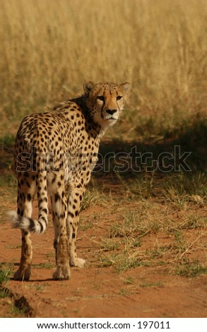 A cheetah looking back, Namibia, Africa