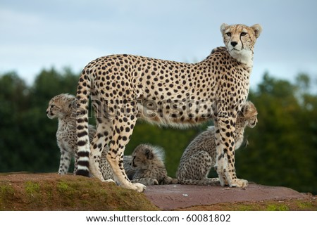 A Cheetah mother standing on a rock with her cubs - stock photo