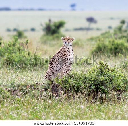 A cheetah on the Masai Mara National Reserve - Kenya, East Africa - stock photo