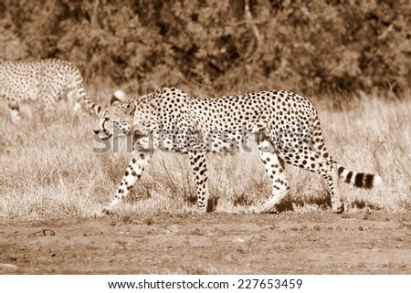 A cheetah on the move in this sepia tone image. - stock photo