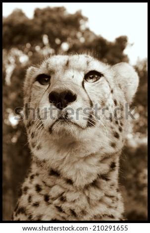 A cheetah portrait in sepia tone. - stock photo
