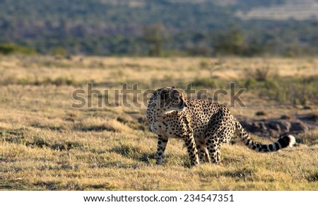 A cheetah poses after noticing a noise behind him. - stock photo