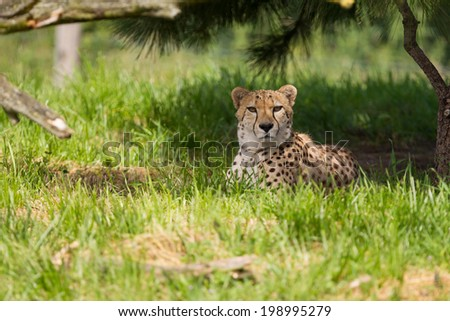 A cheetah resting in the shade - stock photo