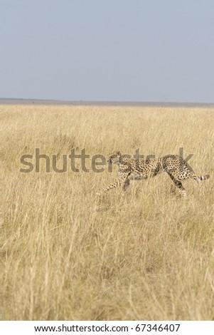 A cheetah runs after a hare in the Masai Mara in Kenya. - stock photo