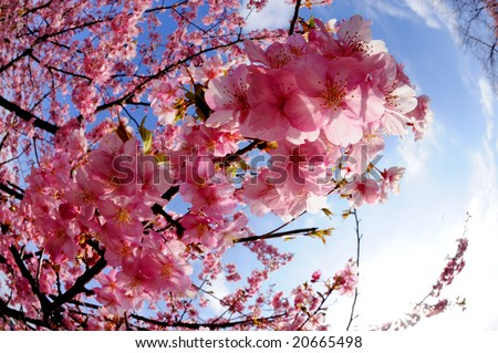 a cherry blossom - stock photo
