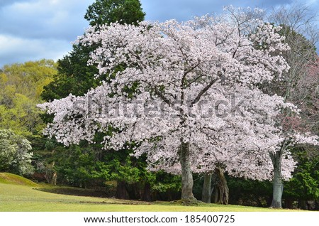 A cherry blossom tree in Nara, Japan during spring.  - stock photo