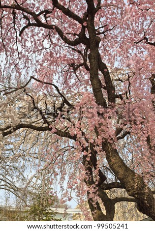 A cherry tree blooming early in the Brooklyn Botanic Gardens in New York City - stock photo
