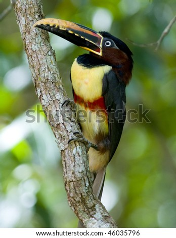 A Chestnut-eared Aracari (Toucan) perched on a vine - Argentina - stock photo