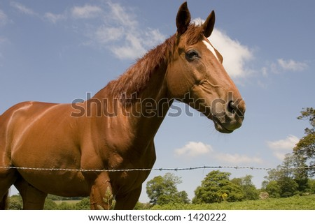 A chestnut horse in a summer field - stock photo