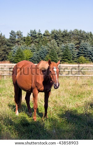 A chestnut horse standing in a field in England in summer.