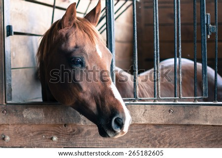 A chestnut horse with a white stripe on her nose hangs her head out of the wooden stall and gazes into the distance. - stock photo