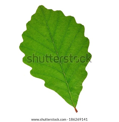 A Chestnut Oak leaf (Quercus prinus) isolated on a white background. - stock photo