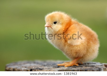 a chick new born