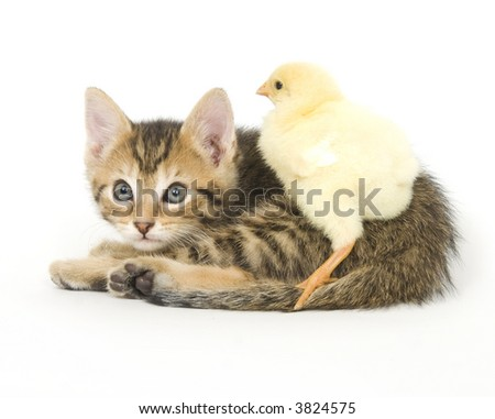 A chick stands on a kitten on white background. Both are being raised on a farm in Illinois - stock photo