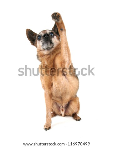 a chihuahua begging - stock photo