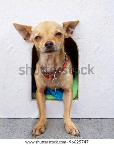a chihuahua coming out of his house
