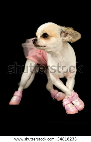 a chihuahua dog dressed in a ballerina costume standing in a dance pose - stock photo