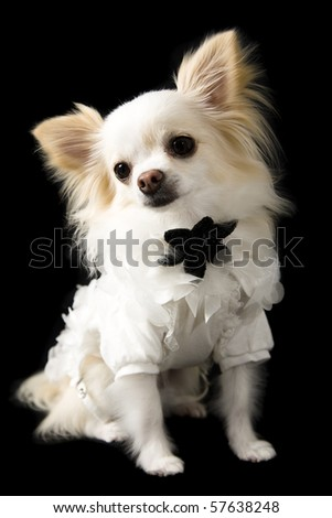 a chihuahua dog dressed in clothes on a isolated on a black background - stock photo