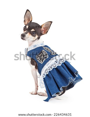 A Chihuahua Dog is very stylish in a blue dress with white lace.  - stock photo
