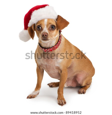 A Chihuahua dog wearing a red santa hat and fancy colar sitting on a white backdrop