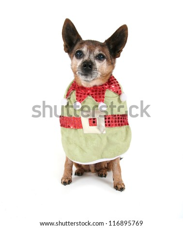 a chihuahua dressed up for christmas - stock photo