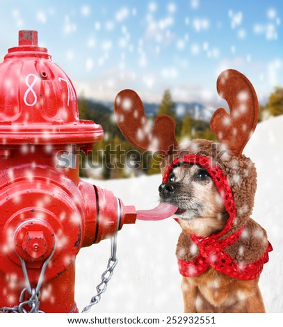 a chihuahua dressed up for christmas as a reindeer licking a fire hydrant with his tongue stuck to it - stock photo